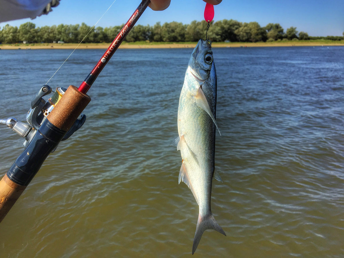 Koketka lure do wonders, sabrefish is attracted by it.