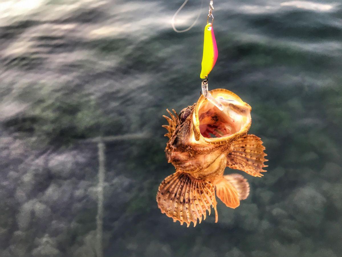 Sea scorpion fish on Glisser spoon and soft plastic bait.