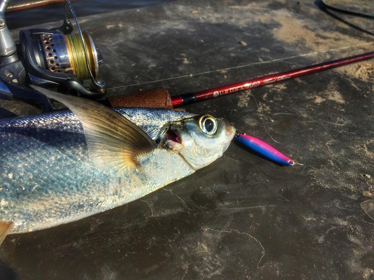 Не самая мирная чехонь на блесну SV Fishing.