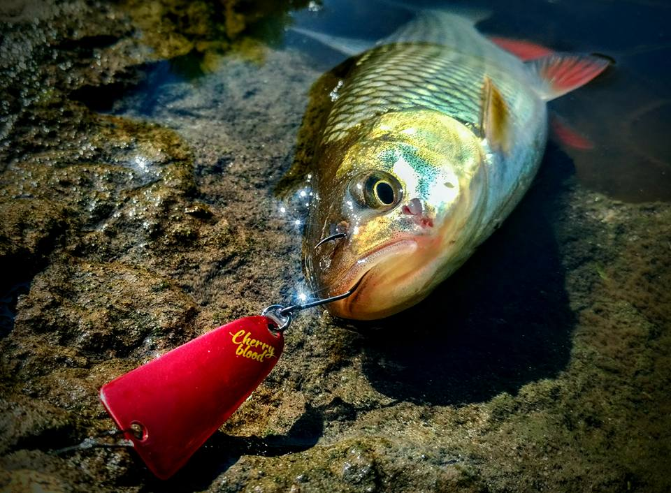Голавль на микроколебалку SV Fishing Lures Iris в цвете UA02
